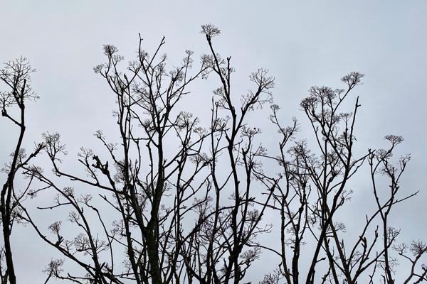 Samma rönnbärsträd väntar på sommaren